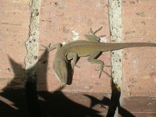 close lizard