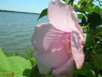 big pink flower