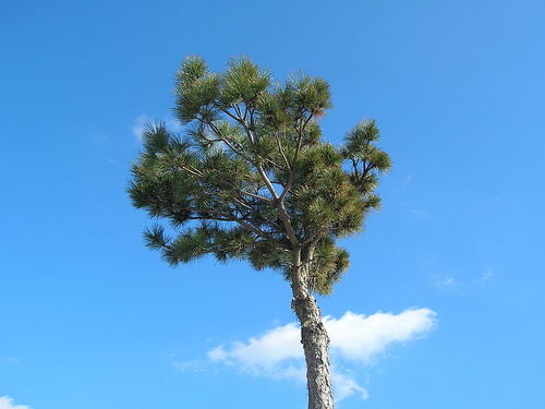 lone tree in a blue sky