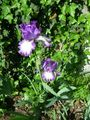 purple flowerness