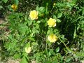 blooming yellow roseses