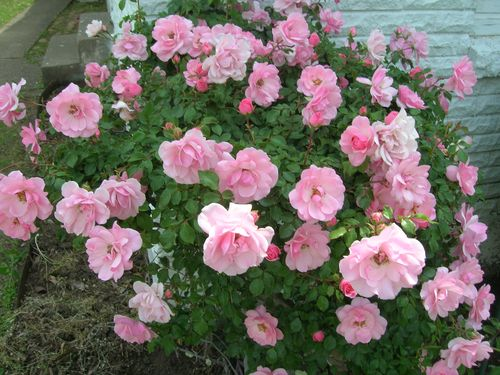 pink slapped with roses