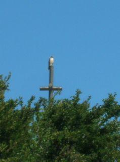 steeple hawk