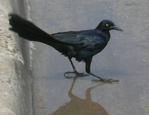 reflections of a grackle