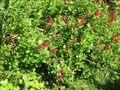 Little red bloomage