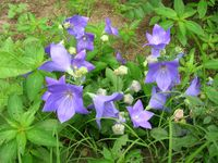 balloon flowers opened