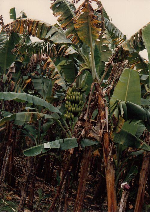 Unpicked tropical fruit